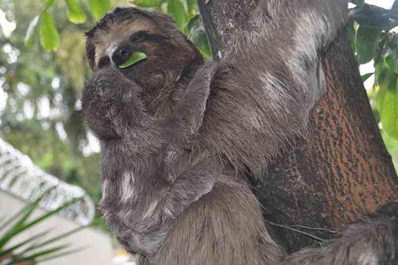 Novo filhote de bicho-preguiça nasce em praça de Teófilo Otoni (MG) e fotógrafo registra primeiros momentos de vida