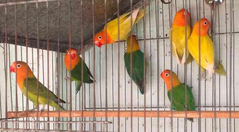 Mulher foi autuada pelo Ibama a pagar multa de R$3.500 por manter sete pássaros da fauna silvestre - Reprodução