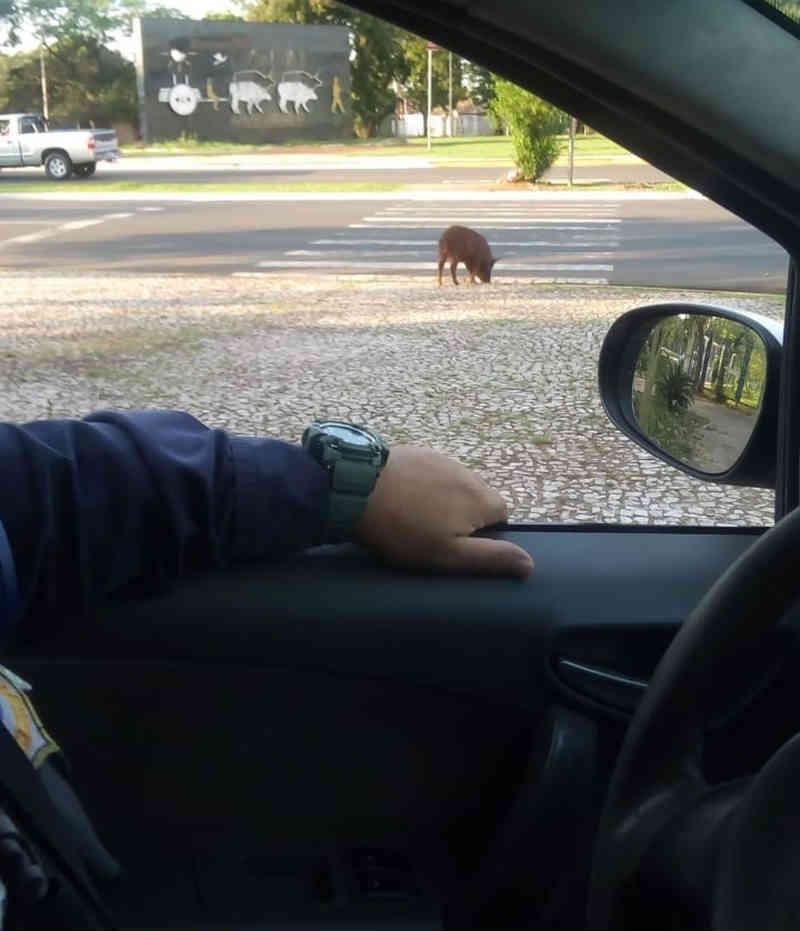 Porco é capturado em parque na região central de Campo Grande: 'Estava correndo pra lá e pra cá'