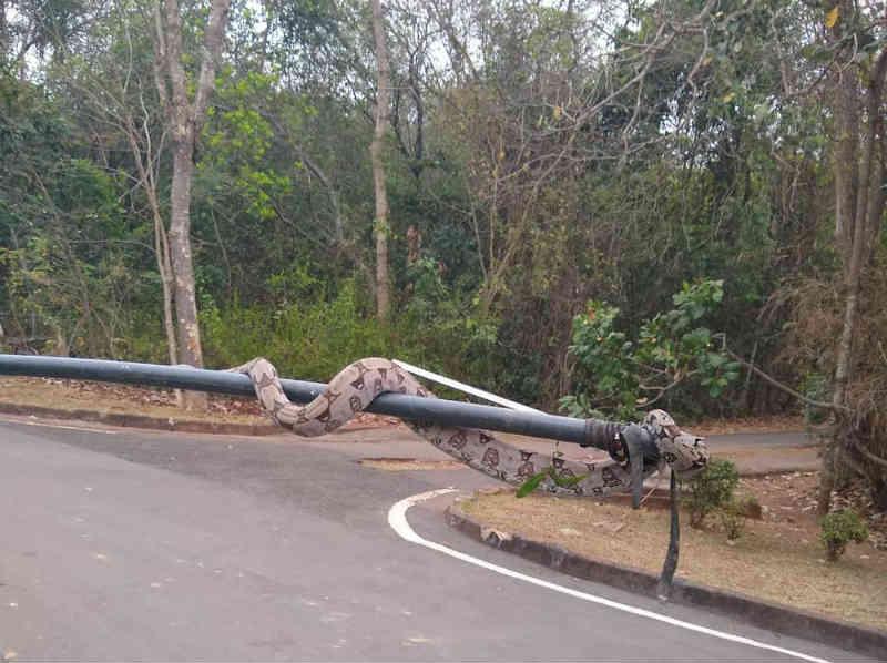 Jiboia de 2 metros é encontrada perto de pistas de caminhada de parque na zona urbana de Cuiabá, MT