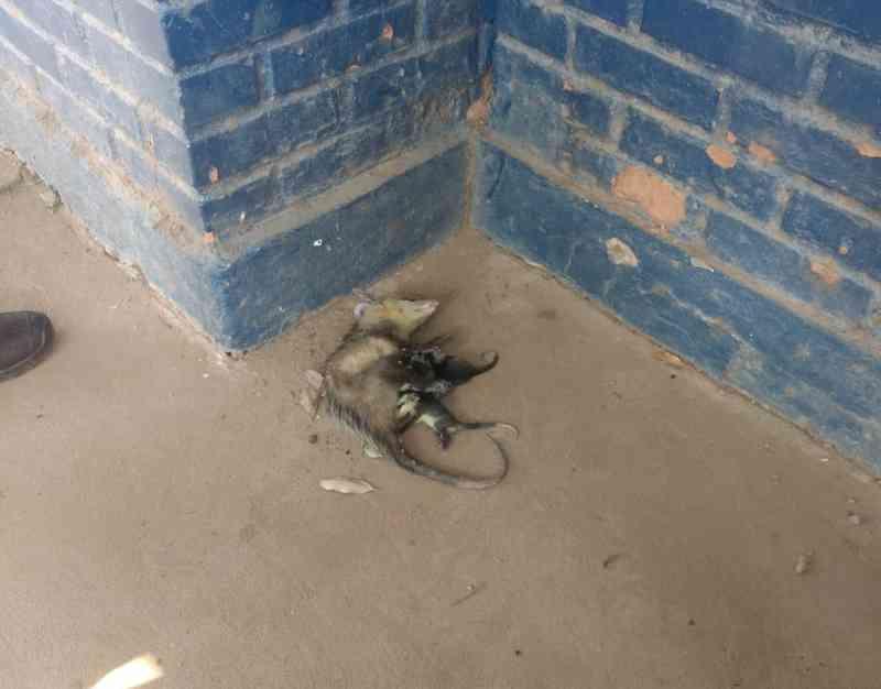 Mãe e filhotes foram levados para hospital veterinário — Foto: Polícia Militar-MT/Assessoria