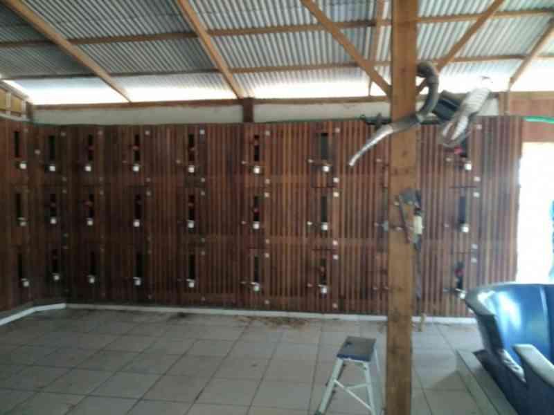 Polícia Judiciária descobre suposta rinha de galo em chácara de jovem preso por violência doméstica em Sorriso, MT