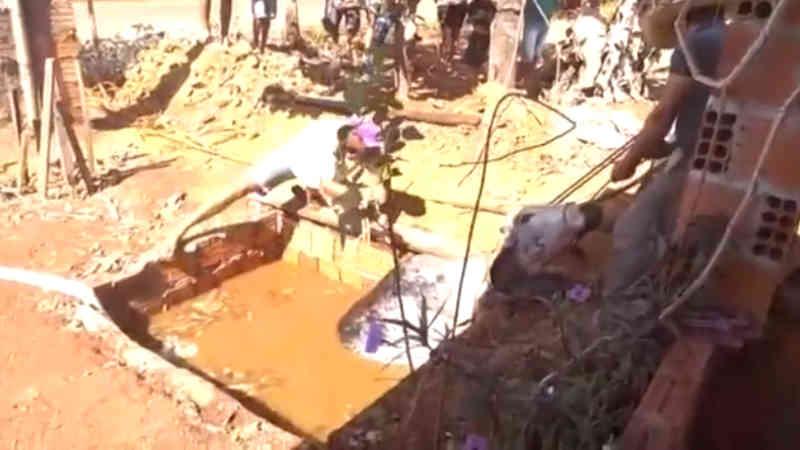 Vaca cai em fossa em MT é retirada pelos bombeiros com uso de cordas; veja vídeo