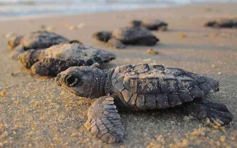 Estudo descobre que metade dos filhotes de tartarugas-marinhas morre devido ao consumo de plástico