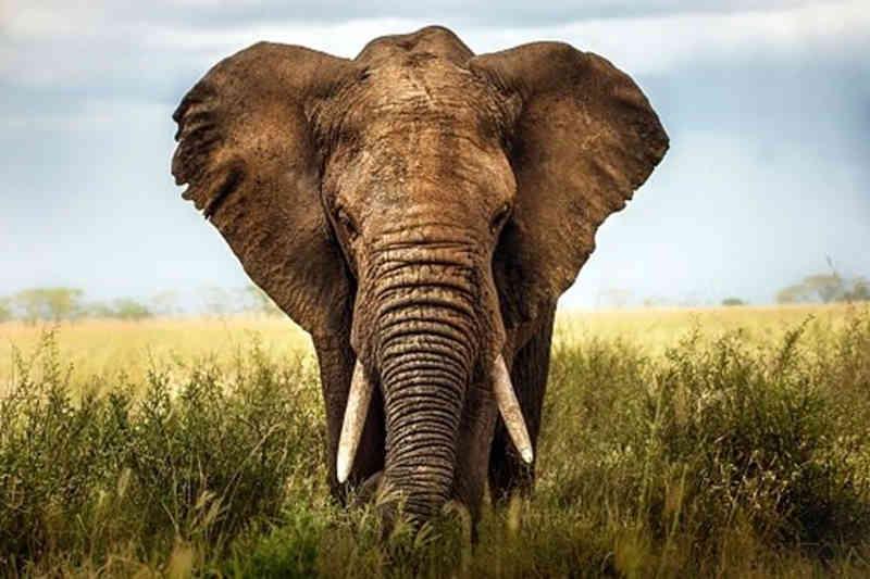 Homem tenta vender 29 presas de elefante mas é apanhado pela polícia moçambicana