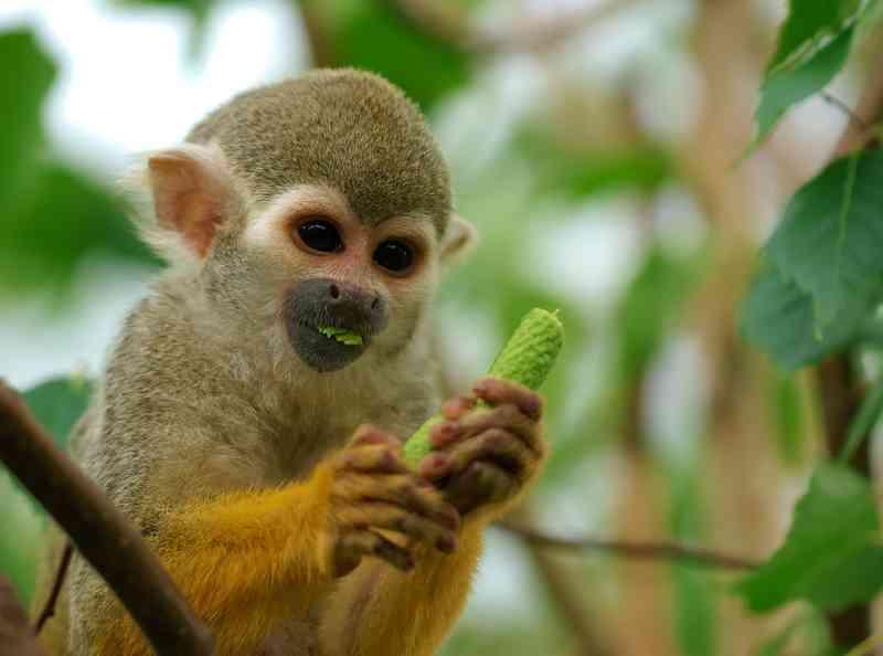 Homem tenta sequestrar macaco de zoológico para presentear a namorada