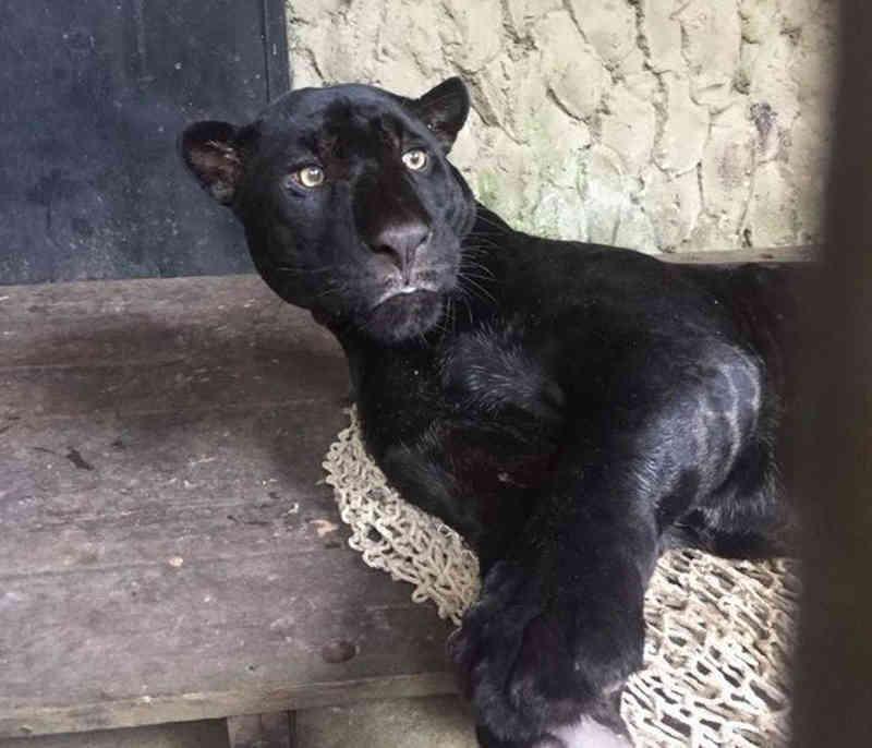Onça-preta é resgatada em condomínio residencial em Belém, PA