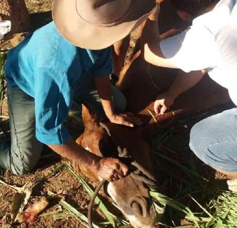 Égua machucada é abandonada na rua após cavalgada em Paraupebas, PA