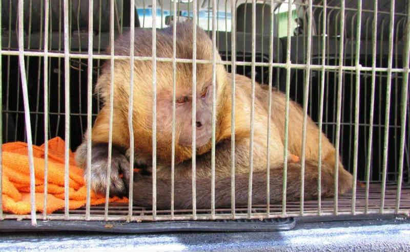 Macaco-prego foi resgatado na Zona Norte do Recife (Foto: Ione Nascimento/CPRH/Divulgação)