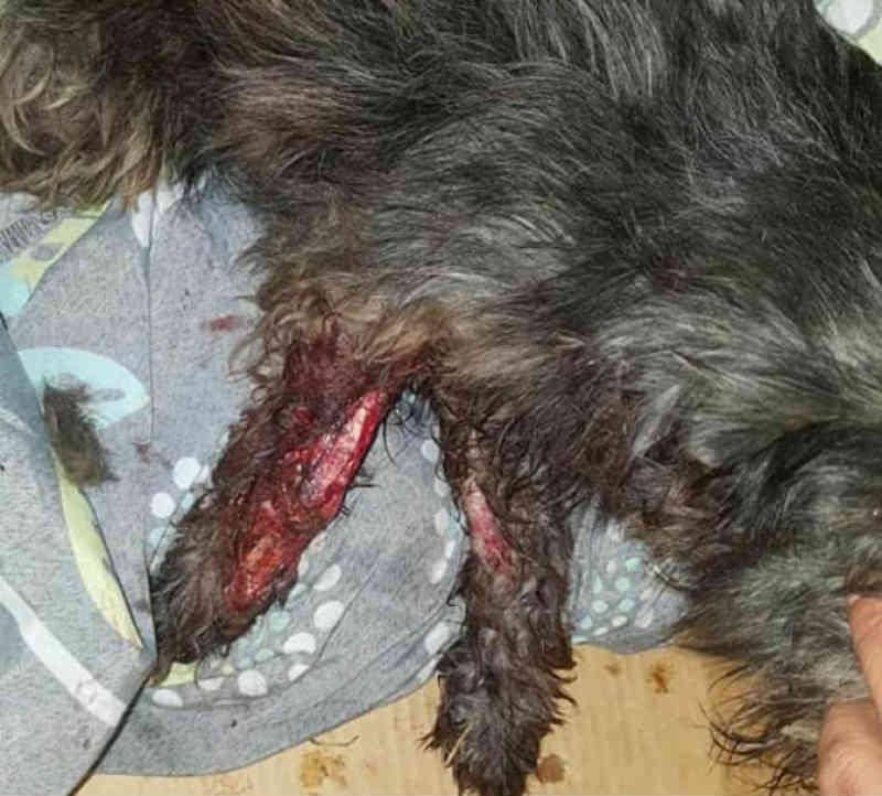 ONG salva cachorrinha atropelada e pede ajuda para custear gastos, em Arapongas, PR