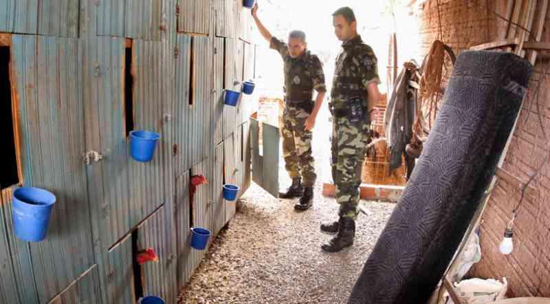Operação flagra mais de 60 galos que seriam treinados para rinha em Maringá, PR