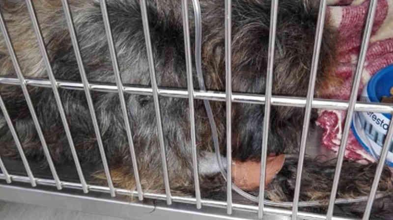 Morreu um dos cães envenenados em Madeira, Portugal