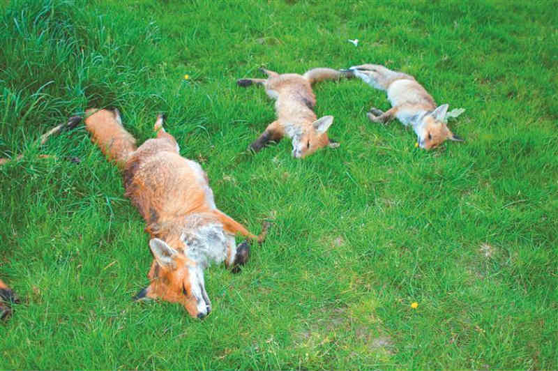 Fim da caça às raposas em Portugal é discutido no parlamento