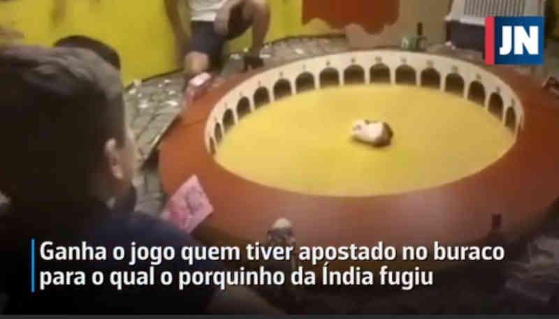 Associação animal denuncia jogo com porquinho-da-índia em Portugal