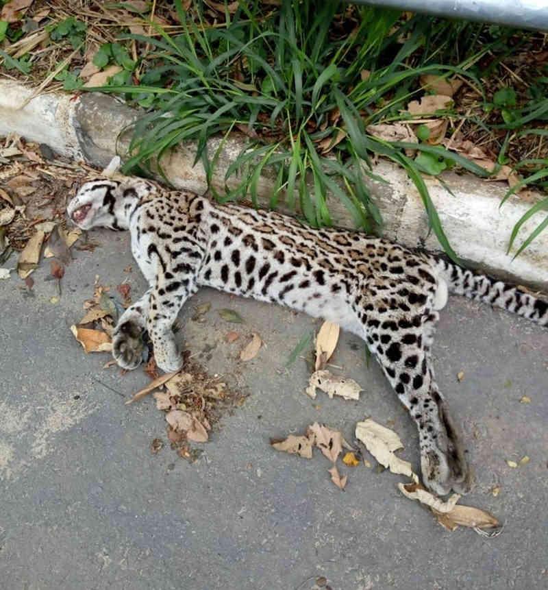 Jaguatirica é encontrada morta na RJ-127, em Mendes, RJ