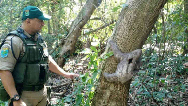 Bicho preguiça resgatado no recreio dos bandeirantes.