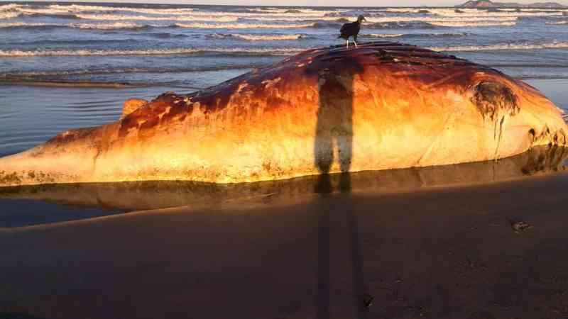 Carcaça de filhote de baleia Jubarte é encontrada no segundo distrito de Cabo Frio (Foto: Divulgação/Secretaria do Meio Ambiente de Cabo Frio)