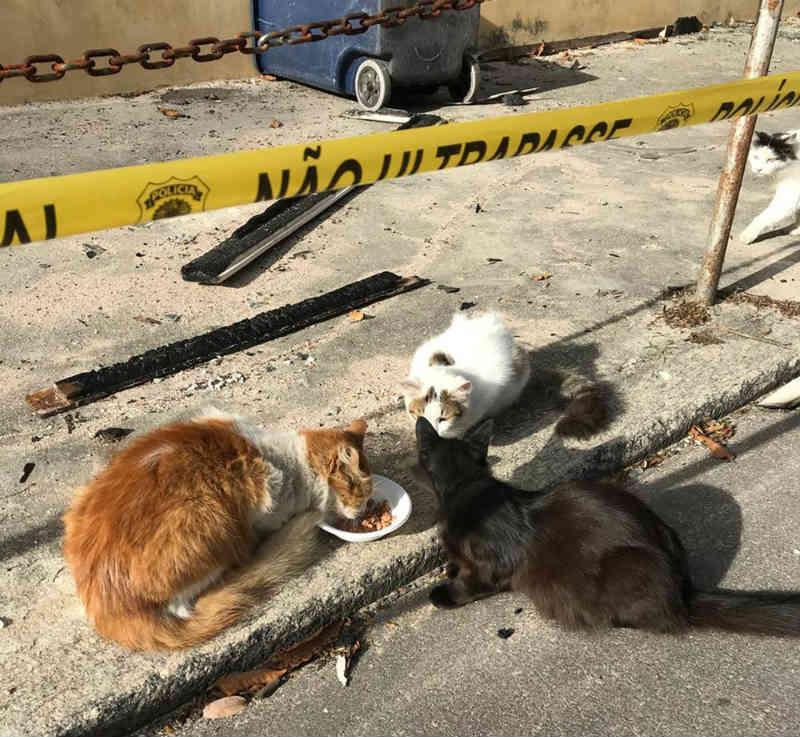 Gatos que sobreviveram a incêndio na área do Museu Nacional serão colocados para adoção