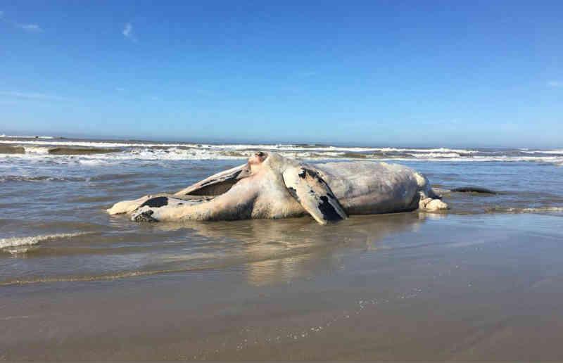 Animal de cerca de 30 toneladas foi encontrado nesta manhã (5) no Cassino (Foto: Nathalia King/RBS TV)