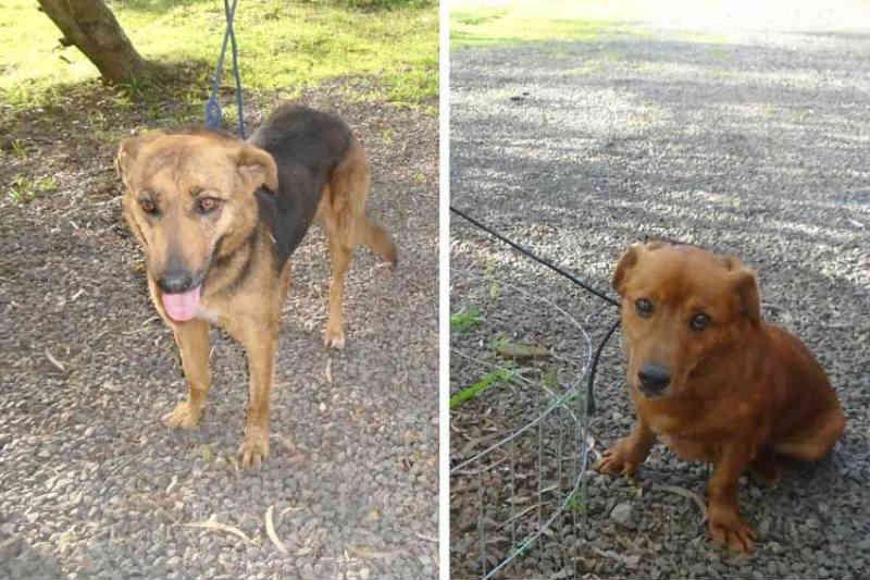Casal será multado após abandonar cães adotados em fevereiro, em Santa Cruz do Sul, RS