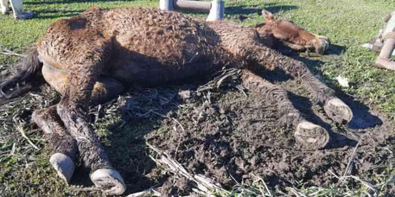 Cavalo é resgatado de maus-tratos e morre dois dias depois, em Taquari, RS
