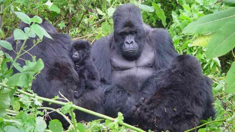 Gorilas formam laços com grupos vizinhos para manter a paz em Ruanda