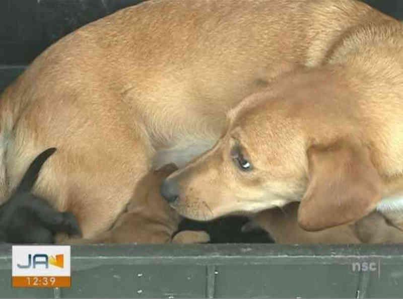Cadela dá à luz dentro de bueiro e seis filhotes são resgatados pelos bombeiros em Itajaí, SC