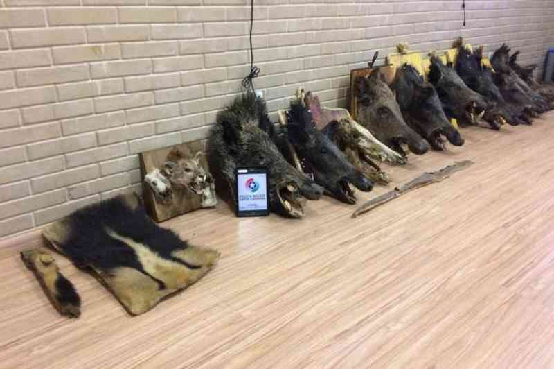 Cabeças de animais silvestres empalhadas são apreendidas em Campo Belo do Sul, na Serra de SC