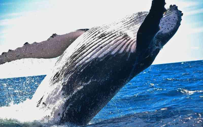 Japão quer trazer de volta a caça comercial de baleias – Vamos acabar com isso agora!