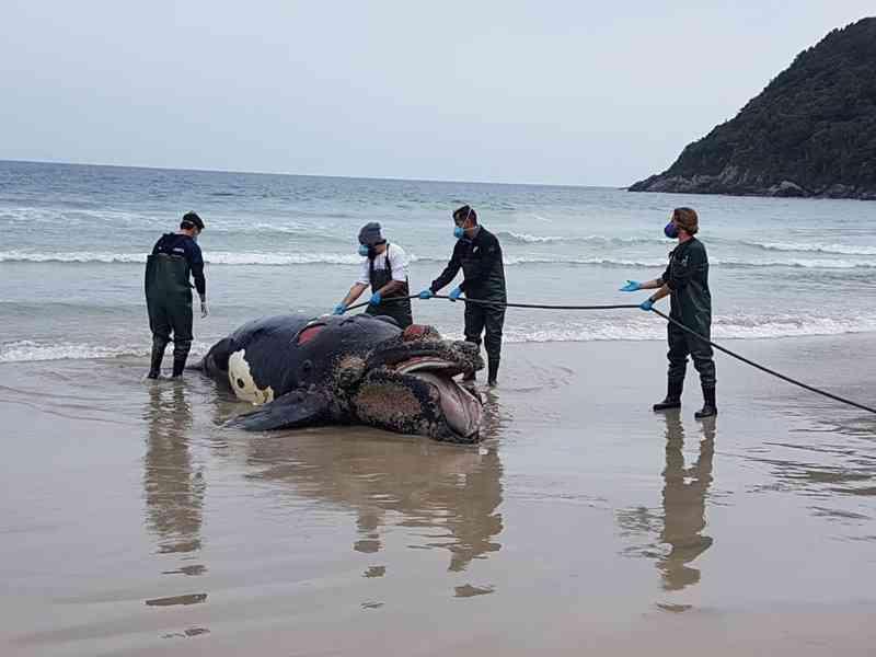 Filhote de baleia foi encontrado na Praia do Matadeiro, no Sul da Ilha, em Florianópolis. (Foto: Associação R3 Animal/Divulgação)