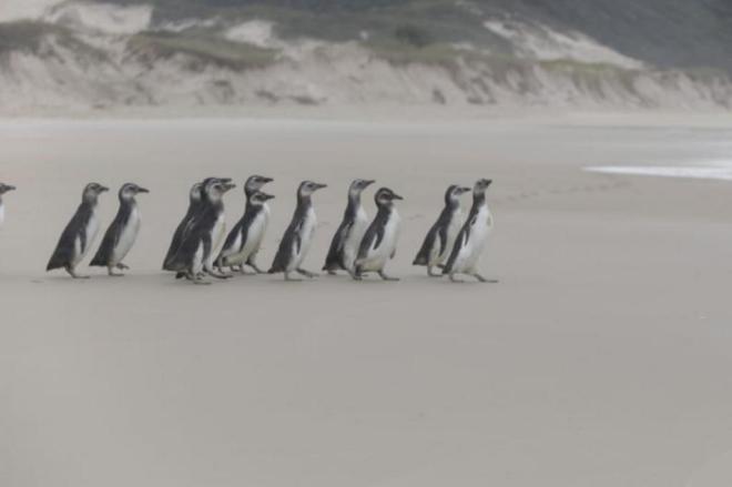 Após reabilitação, 19 pinguins voltam para o mar em Florianópolis, SC