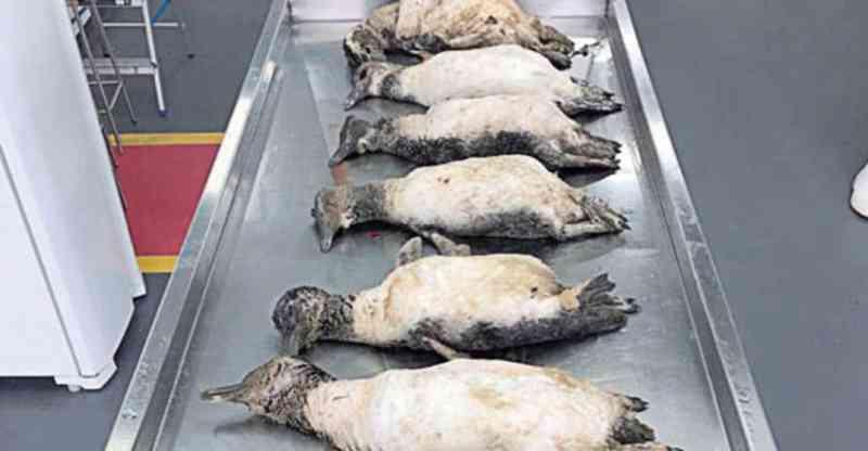 Subiu pra 127 o número de pinguins mortos na região de Itajaí, SC