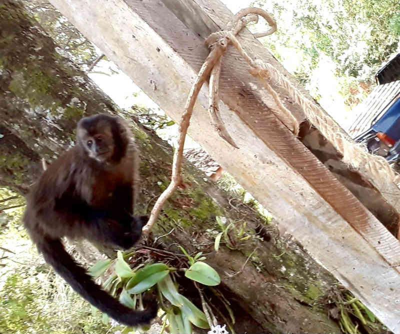 'Operação' é montada para resgatar macaco-prego em praça de Botucatu, SP