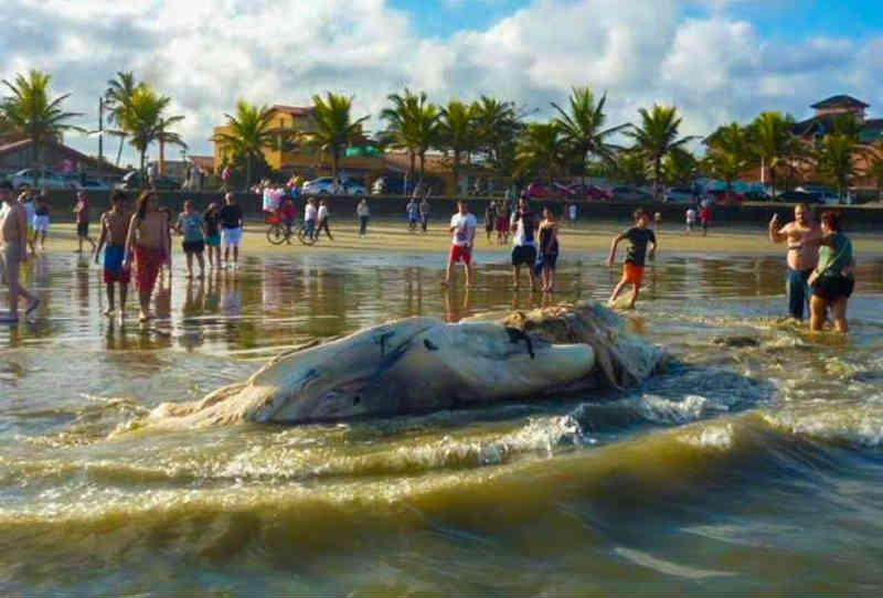 Baleia morta chamou a atenção de banhistas em Peruíbe, SP (Foto: Fabiano Bico)