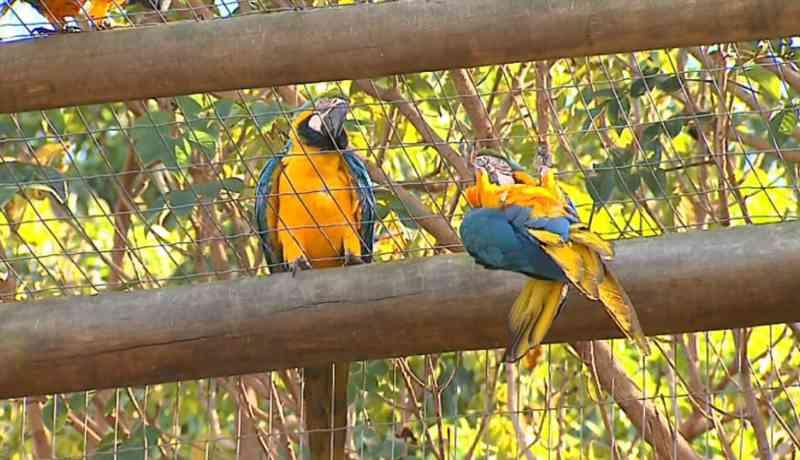 Araras livres visitam aves no Centro de Reabilitação de Animais em Araras, SP — Foto: Reprodução/EPTV