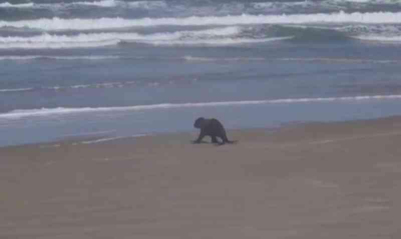 Lobo-marinho foi solto na Ilha do Cardoso (SP) após quase 20 dias de tratamento — Foto: Reprodução/IPeC