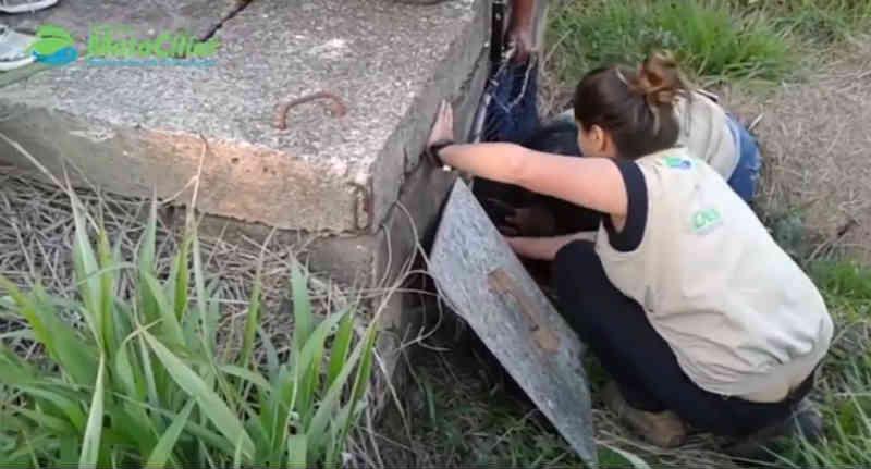 Associação Mata Ciliar resgata lobo-guará no Aeroporto de em Jundiaí, SP