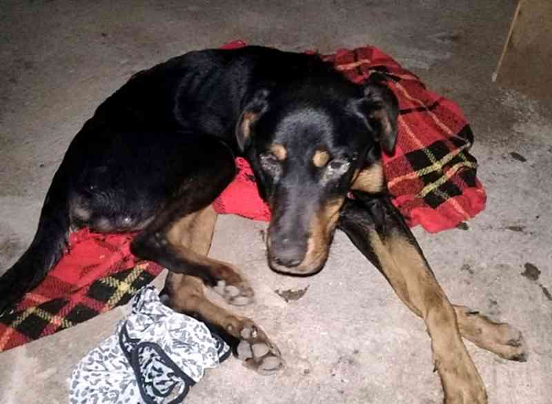 O cachorro foi encontrado quase morto em um bananal em condições precárias — Foto: Reprodução