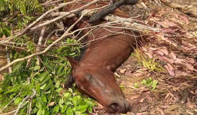 Égua foi abandonada e coberta com galhos em Pedro Afonso — Foto: Divulgação