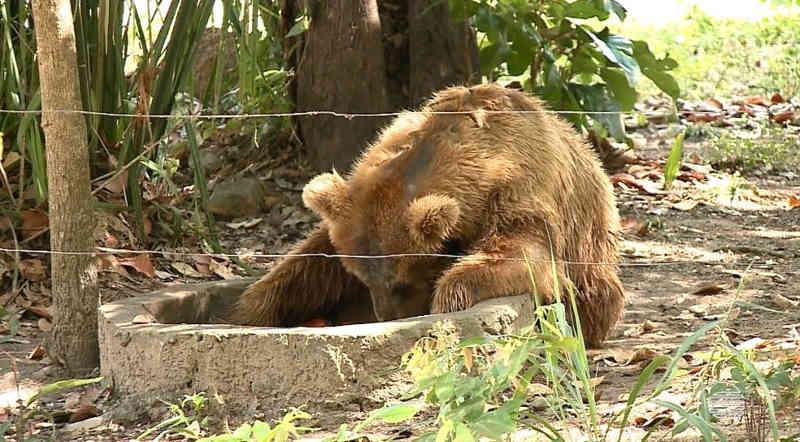 'Ursa mais triste do mundo' chega a santuário em Joanópolis, SP