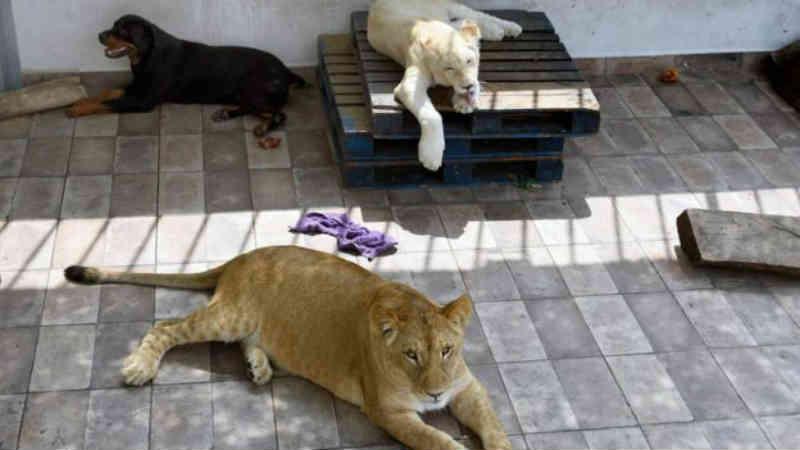 Três leões e um cão vivem num terraço mas o tutor não os quer separar