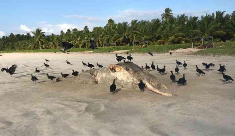 Baleia é encontrada morta na praia de Porto de Pedras, AL