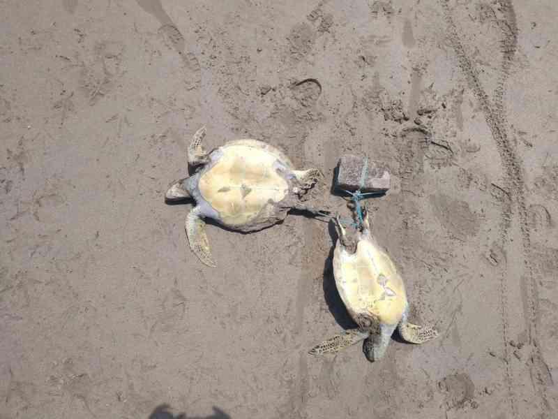 Tartarugas amarradas a pedra são achadas mortas em Ipioca, AL