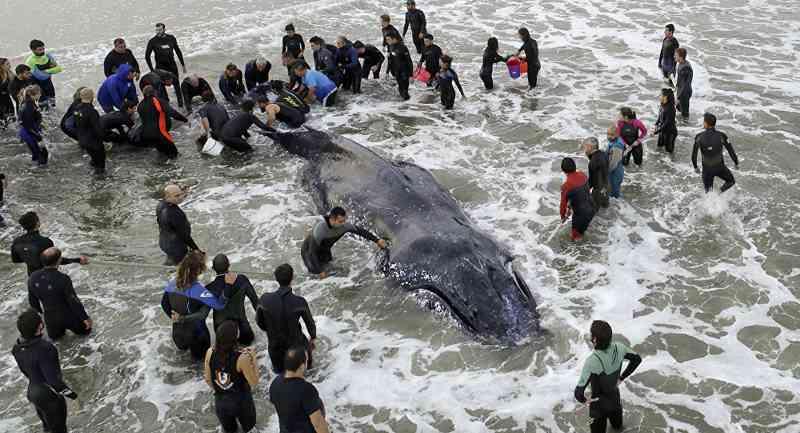 VÍDEO: na Argentina, grupo de resgate devolve ao mar baleia-jubarte encalhada no litoral