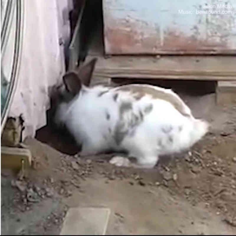Assistir a este coelho cavar freneticamente para ajudar um gato preso deixará você sem palavras