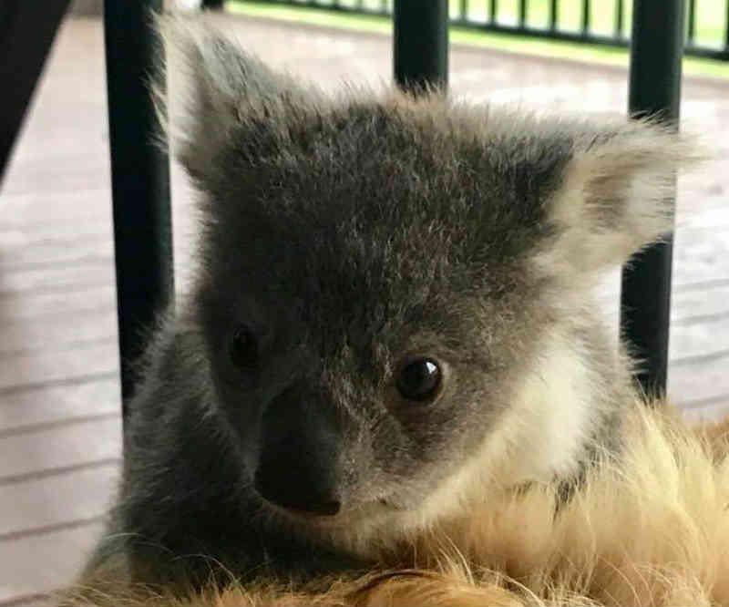 Após se perder da mãe, bebê coala é aquecido por cachorro na Austrália