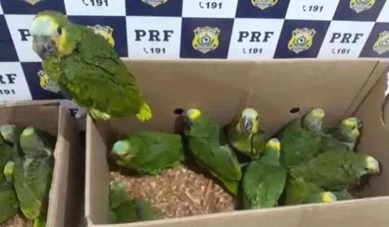 PRF resgata 127 pássaros silvestres dentro de veículo na BR-242, na Bahia
