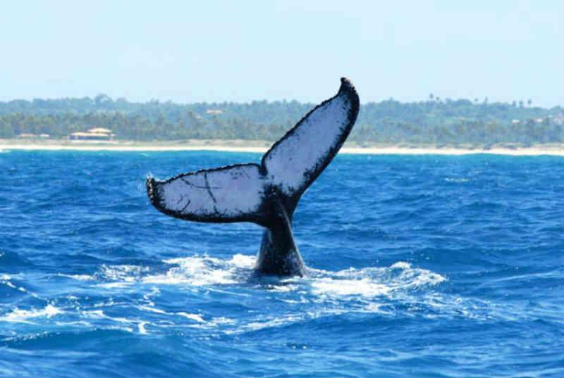 Praia do Forte (BA) recebe evento que celebra encontro de baleias e tartarugas