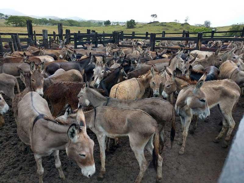 Jumentos que iam para abate são achados mortos em estrada na Bahia