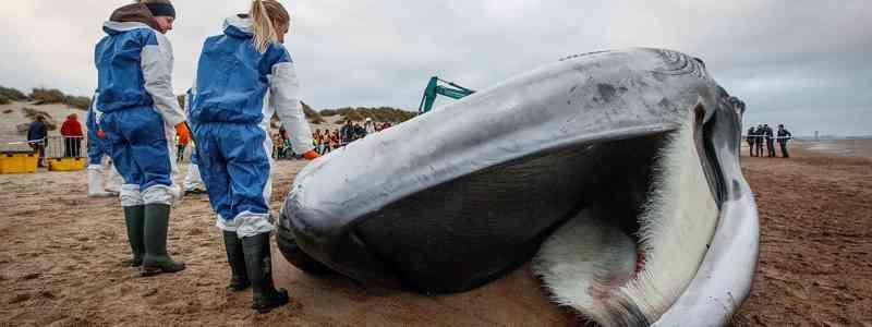 Baleia de 18 metros dá à costa numa praia na Bélgica